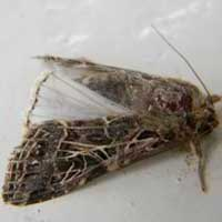 An adult cutworm moth from Eldoret, Kenya, Africa, photo © Michael Plagens
