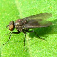 A small, unknown fly species © Michael Plagens
