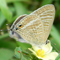 Small Blue Butterfly, Lampides sp., © Michael Plagens