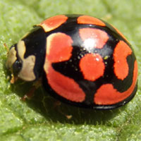 Lady Beetle, Coccinellidae, Kenya, photo © Michael Plagens