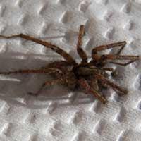 Male funnelweb spider, agelenidae, Eldoret, Kenya © Michael Plagens