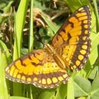 Joker Butterfly, Nymphalidae., © Michael Plagens