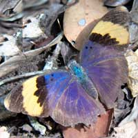 Gold-banded Forester butterfly © Michael Plagens