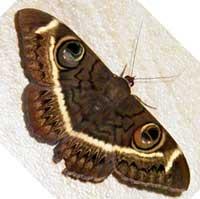 Erebus, f. Noctuidae, © Michael Plagens