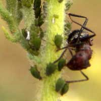 Aphid-tending Ant
