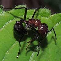 Myrmicaria Ant stung by Dorylus