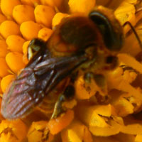 a bee gathering pollen from exotic invasive Tithonia, photo © Michael Plagens