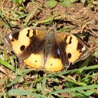 Yellow Pansy, Junonia hierta, © Michael Plagens