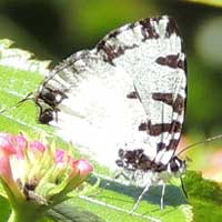 Silvery white with black striping lycaenidae Butterfly, © Michael Plagens