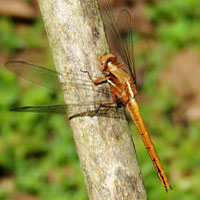 A Libellulidae Dragonfly, Orthetrum caffrum, from Kitale, Kenya © Michael Plagens
