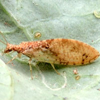 A brown lacewing with aphids on coles © Michael Plagens