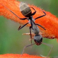 An agile, diurnal Camponotus © Michael Plagens