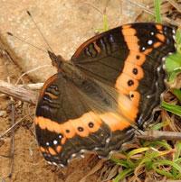 Garden Commodore, Precis archesia, Nymphalidae., © Michael Plagens