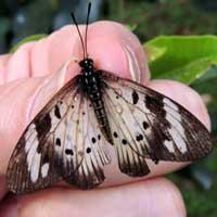 An African Acraea Butterfly, Nairobi, Kenya, Africa, photo © Michael Plagens