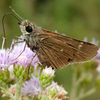 A brown skipper at flowers, Menangai Crater, Kenya, Africa, photo © Michael Plagens