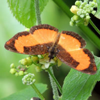 Orange-patch Butterfly, Vanessula milca, © Michael Plagens