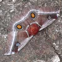 large Silk Moth from Kilifi, Kenya, Africa, photo © Helvi Rissanen