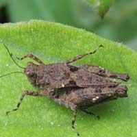 A short, stout grasshopper, Tetrigidae, from Kitale, Kenya, Africa, photo © Michael Plagens