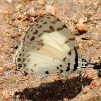 Tuxentius, Lycaenidae, © Michael Plagens