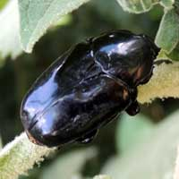 a glossy black Cetoninae from South Nandi Forest © Michael Plagens