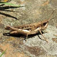 grasshopper, Acrididae, photo © Michael Plagens