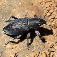 a sturdy-built weevil, Curculionidae, Entiminae, Kenya, photo © Michael Plagens