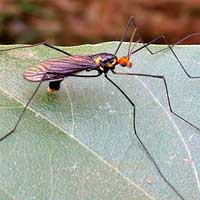 A crane fly, f. Tipulidae, photo © Michael Plagens