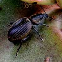 weevil found on Kalanchoe, Curculionidae, Entiminae, in Kenya, photo © Michael Plagens