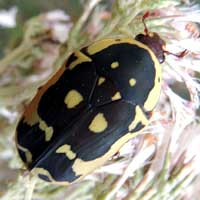 Black and Yellow Chafer