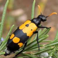 a gaudy Meloidae, Mylabris, © Michael Plagens