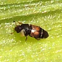 sap beetle infesting damaged ear Corn/Maize, Nitidulidae, Kenya, photo © Michael Plagens