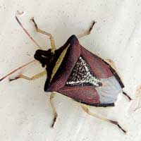 Burgandy, gold and silver Pentatomidae, Africa, photo © Michael Plagens