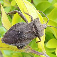 Leaf-footed Bug, f. Coreidae. Eldoret, Kenya, Africa, photo © Michael Plagens