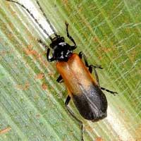 Soldier Beetle, Cantharidae, Kenya, photo © Michael Plagens
