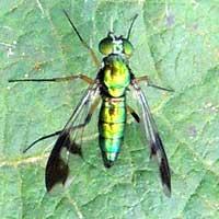 Dolichopodidae, © Michael Plagens