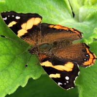 Abyssinian Red Admiral, Vanessa abyssinica, © Michael Plagens