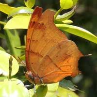 Butterfly, Charaxes zoolina, © Michael Plagens