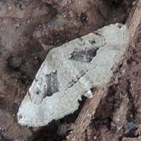 Noctuidae resembling piece of bark moth © Michael Plagens