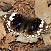 Widespread and common African Butterfly, Junonia oenone, © Michael Plagens