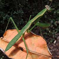 a praying mantis, Nairobi, Kenya, Africa, photo © Michael Plagens