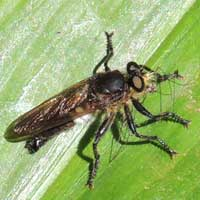 A robust robber fly, Asilidae, photo © Michael Plagens