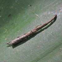 dead stick spider, Uloboridae, , © Michael Plagens