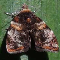 Tortricidae moth from Kakamega, Kenya, Africa.
