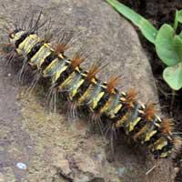 a Saturnidae larva from Magadi Rd., Kenya, Africa.