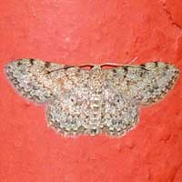 Geometridae moth from Kakamega, Kenya, Africa.