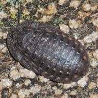 Bark Cockroach, Blaberidae, Kenya © Michael Plagens
