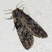 Noctuidae moth © Michael Plagens