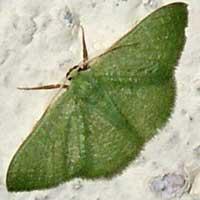 Emerald Moth, Geometridae, Kenya, Africa.