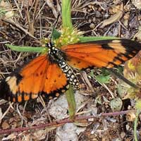 Small Orange Acraea Butterfly, Lampides sp., © Michael Plagens
