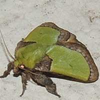 adult slug moth, Limacodidae, Kenya, Africa.